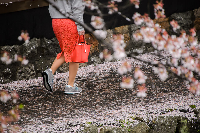 Soggy Carpet of Petals in rainy Kyoto Japan ずぶ濡れた花びらのじゅうたん(今日、京都市) -- Copyright 2015 Jeffrey Friedl, http://regex.info/blog/ -- This photo is licensed to the public under the Creative Commons Attribution-NonCommercial 4.0 International License http://creativecommons.org/licenses/by-nc/4.0/ (non-commercial use is freely allowed if proper attribution is given, including a link back to this page on http://regex.info/ when used online)