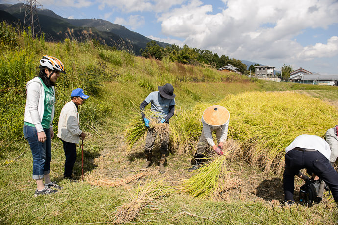 Rice Harvest -- Otsu, Shiga, Japan -- Copyright 2015 Jeffrey Friedl, http://regex.info/blog/