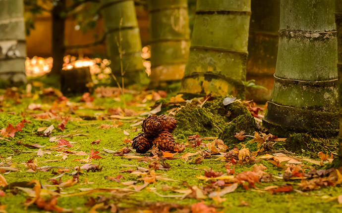 desktop background image of a garden scene at the Tenjuan Temple (天授庵), Kyoto Japan -- Bamboo and Moss and Pinecones 竹と苔と松ぼっくり -- Tenjuan Temple (天授庵) -- Copyright 2015 Jeffrey Friedl, http://regex.info/blog/ -- This photo is licensed to the public under the Creative Commons Attribution-NonCommercial 4.0 International License http://creativecommons.org/licenses/by-nc/4.0/ (non-commercial use is freely allowed if proper attribution is given, including a link back to this page on http://regex.info/ when used online)