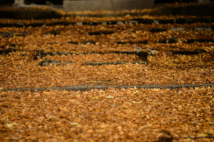 Squished Flat And Turning Orange formerly-plush carpet of leaves now reduced to old tattered rags two days ago at the Ochiba Shrine in Kyoto Japan 二日前、岩戸落葉神社(京都市) -- Iwato Ochiba Shrine (岩戸落葉神社) -- Copyright 2015 Jeffrey Friedl, http://regex.info/blog/ -- This photo is licensed to the public under the Creative Commons Attribution-NonCommercial 4.0 International License http://creativecommons.org/licenses/by-nc/4.0/ (non-commercial use is freely allowed if proper attribution is given, including a link back to this page on http://regex.info/ when used online)