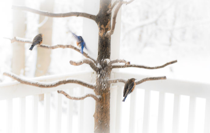 Bluebirds -- Kyoto, Japan -- Copyright 2016 Jeffrey Friedl, http://regex.info/blog/