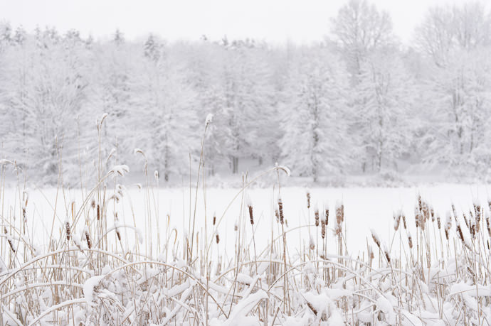 Cattails I loved to break them apart when I was a kid, because, you know, that's what little boys do -- Rootstown, Ohio, United States -- Copyright 2016 Jeffrey Friedl, http://regex.info/blog/