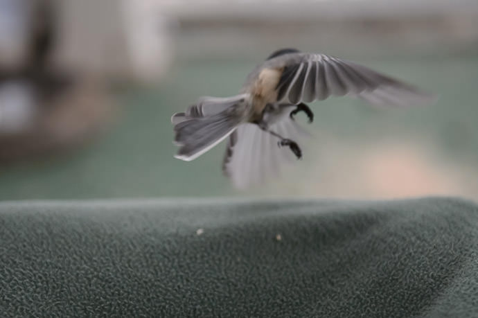 Heading Off with his Worm chickadee -- Rootstown, Ohio, United States -- Copyright 2016 Jeffrey Friedl, http://regex.info/blog/
