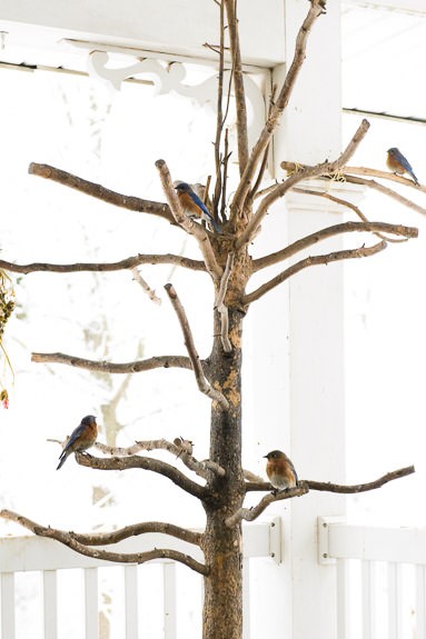 Bluebirds -- Rootstown, Ohio, United States -- Copyright 2016 Jeffrey Friedl, http://regex.info/blog/