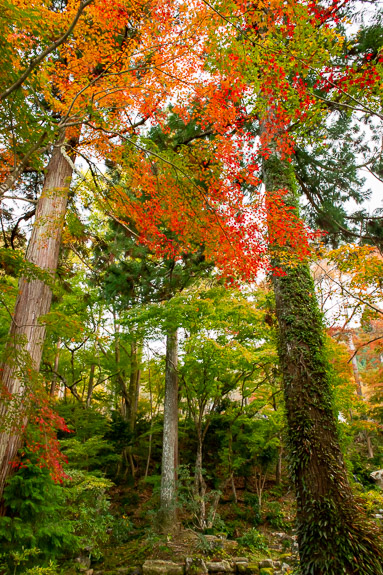 This Tree Can't Decide what color to be -- Sanzen-in Temple (三千院) -- Kyoto, Japan -- Copyright 2018 Jeffrey Friedl, http://regex.info/blog/ -- This photo is licensed to the public under the Creative Commons Attribution-NonCommercial 4.0 International License http://creativecommons.org/licenses/by-nc/4.0/ (non-commercial use is freely allowed if proper attribution is given, including a link back to this page on http://regex.info/ when used online)