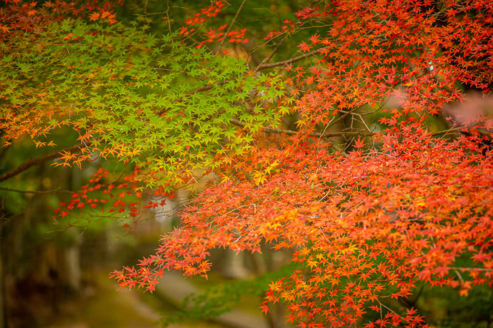 Mix of Colors I love how the same branch can have green, yellow, orange, and red -- Kotoku-ji Temple (庚申山広徳寺) -- Japan, Shiga, Koka -- Copyright 2019 Jeffrey Friedl, http://regex.info/blog/ -- This photo is licensed to the public under the Creative Commons Attribution-NonCommercial 4.0 International License http://creativecommons.org/licenses/by-nc/4.0/ (non-commercial use is freely allowed if proper attribution is given, including a link back to this page on http://regex.info/ when used online)