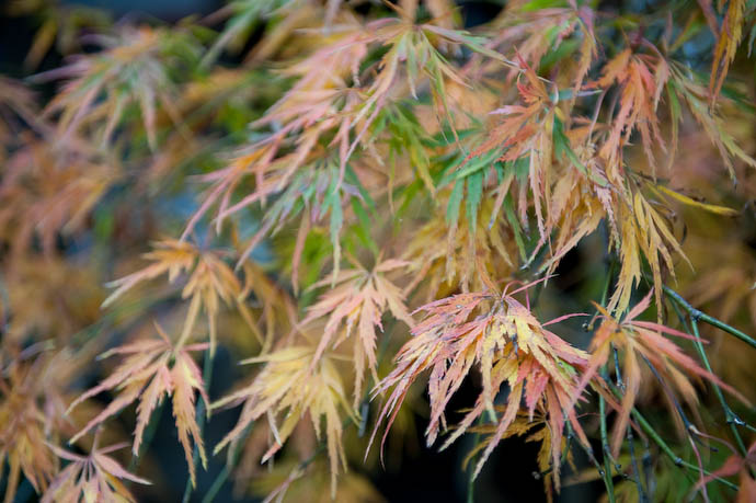 Potted Plant also turns pretty colors in autumn  --  Kibune  --  Kyoto, Japan  --  Copyright 2008 Jeffrey Friedl, http://regex.info/blog/