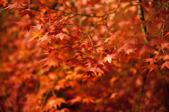 Lotsa' Orange  --  The Eikando Temple  --  Kyoto, Japan  --  Copyright 2008 Jeffrey Friedl, http://regex.info/blog/