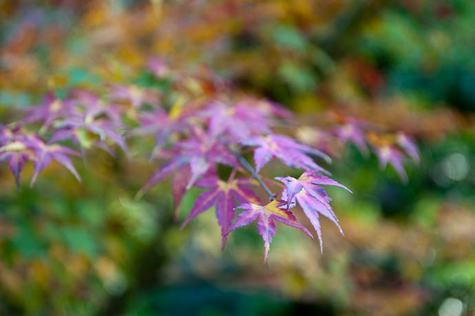 desktop background image of multicolored autumn leaves (momiji) in the mountains of northwest Kyoto, Japan -- Subdued But Colorful -- Copyright 2008 Jeffrey Friedl, http://regex.info/blog/