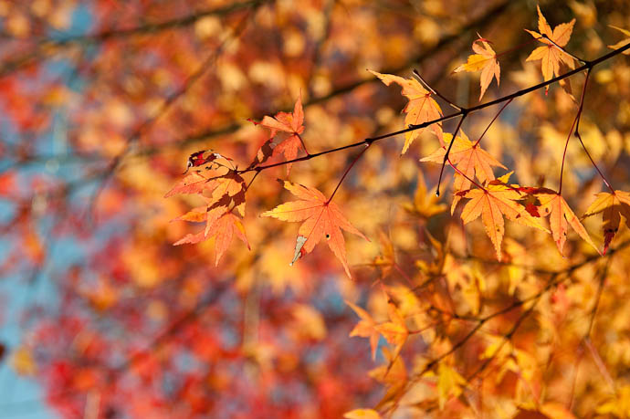desktop background image of deep orange, but imperfect, fall foliage, in the mountains of northwest Kyoto, Japan -- Imperfect -- Copyright 2008 Jeffrey Friedl, http://regex.info/blog/