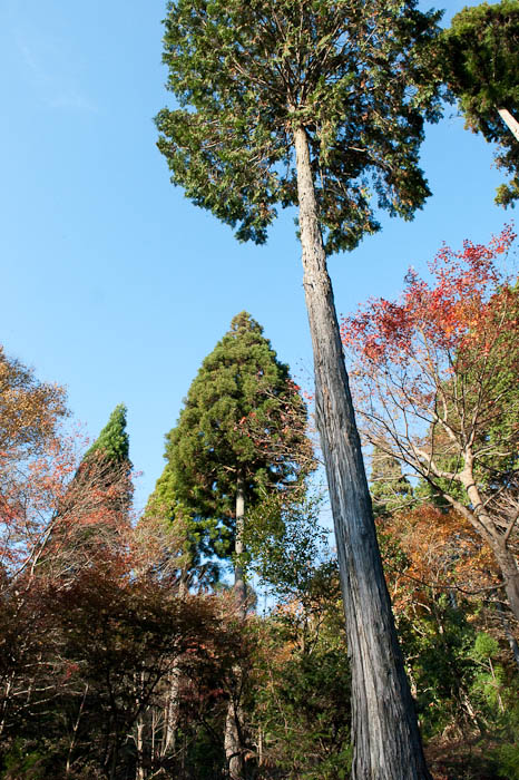 And Towering Above it All 杉 – sugi – Japanese Ceder -- Kyoto, Japan -- Copyright 2008 Jeffrey Friedl, http://regex.info/blog/