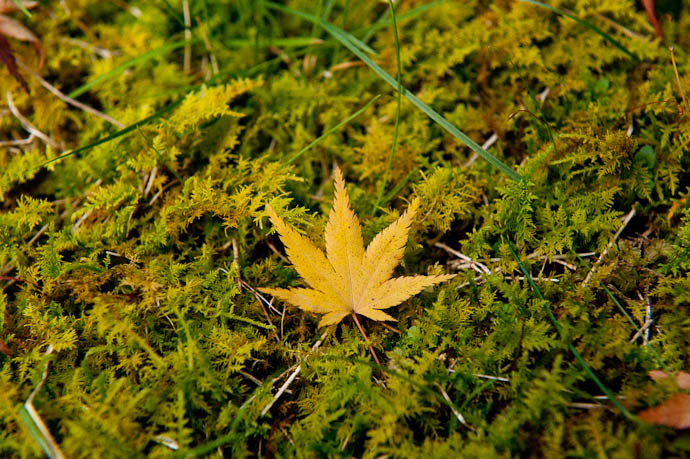 desktop background image of a single yellow leaf on a delicate carpet of moss, in the mountains northwest of Kyoto, Japan -- Leaf -- Nantan, Kyoto, Japan -- Copyright 2008 Jeffrey Friedl, http://regex.info/blog/