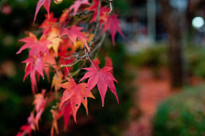 Momiji Finally Turning Red -- Shogunzuka -- Kyoto, Japan -- Copyright 2008 Jeffrey Friedl, http://regex.info/blog/