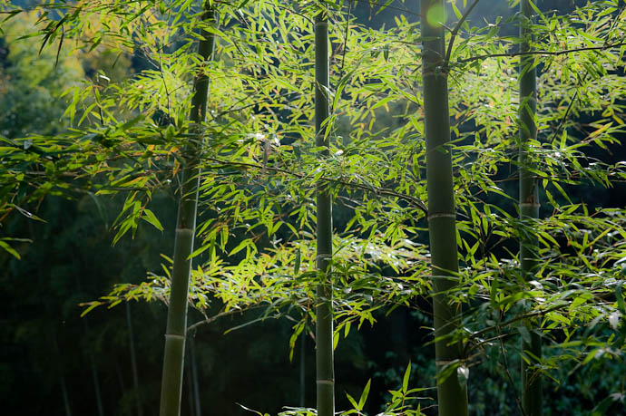 I Find Bamboo to be Mentally Soothing -- Kyoto, Japan -- Copyright 2008 Jeffrey Friedl, http://regex.info/blog/