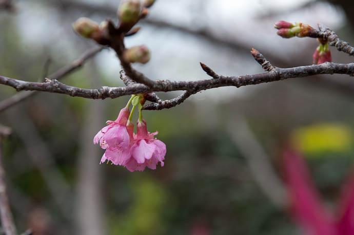 Cherry Blossoms in Japan January 5, 2009 -- Motobu, Okinawa, Japan -- Copyright 2009 Jeffrey Friedl, http://regex.info/blog/