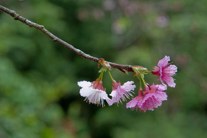 White. Pink. -- Motobu, Okinawa, Japan -- Copyright 2009 Jeffrey Friedl, http://regex.info/blog/