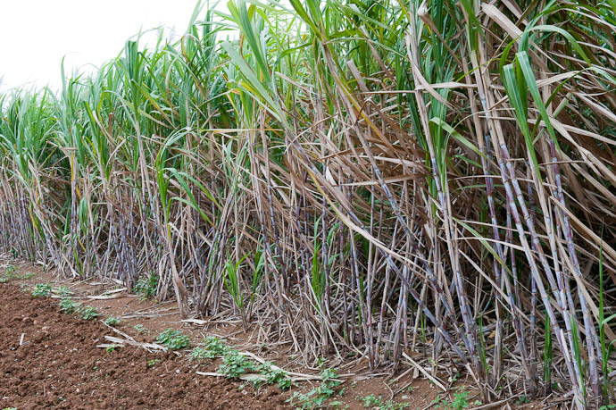 Sugar Cane -- Okinawa, Japan -- Copyright 2009 Jeffrey Friedl, http://regex.info/blog/