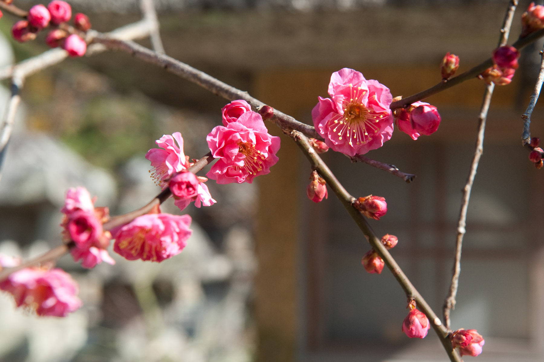 plum blossoms at kitano-tenmangu shrine