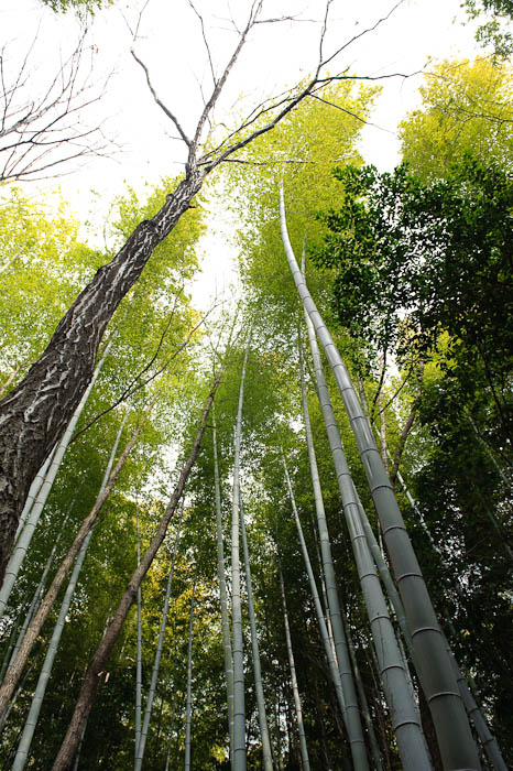 Height lots of it ( less pretty than this quintessential bamboo shot , but still impressively tall ) -- Kyoto, Japan -- Copyright 2009 Jeffrey Friedl, http://regex.info/blog/