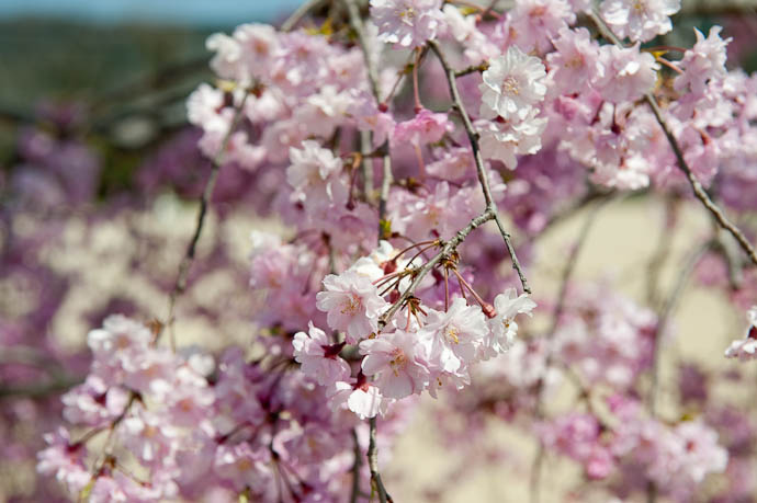 Cherry Blossoms and Starting School go hand-in-hand in Japanese culture -- Doshisha Elementary School -- Kyoto, Japan -- Copyright 2009 Jeffrey Friedl, http://regex.info/blog/