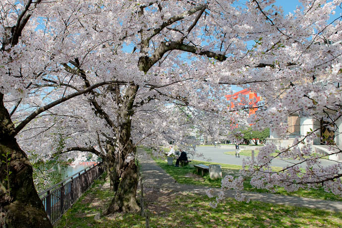 Enjoying the Sakura on a Sunny Morning Kyoto, Japan -- Copyright 2009 Jeffrey Friedl, http://regex.info/blog/