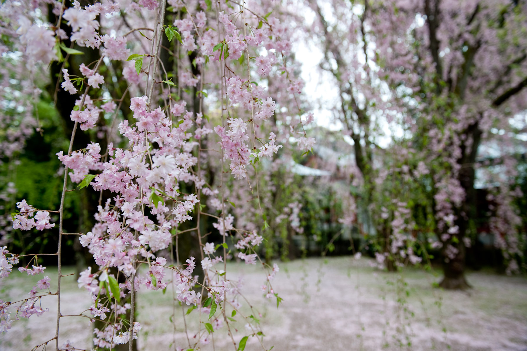Desktop Background Image Of Long Strings Blossom Laden Shidezakura Cherry Branches