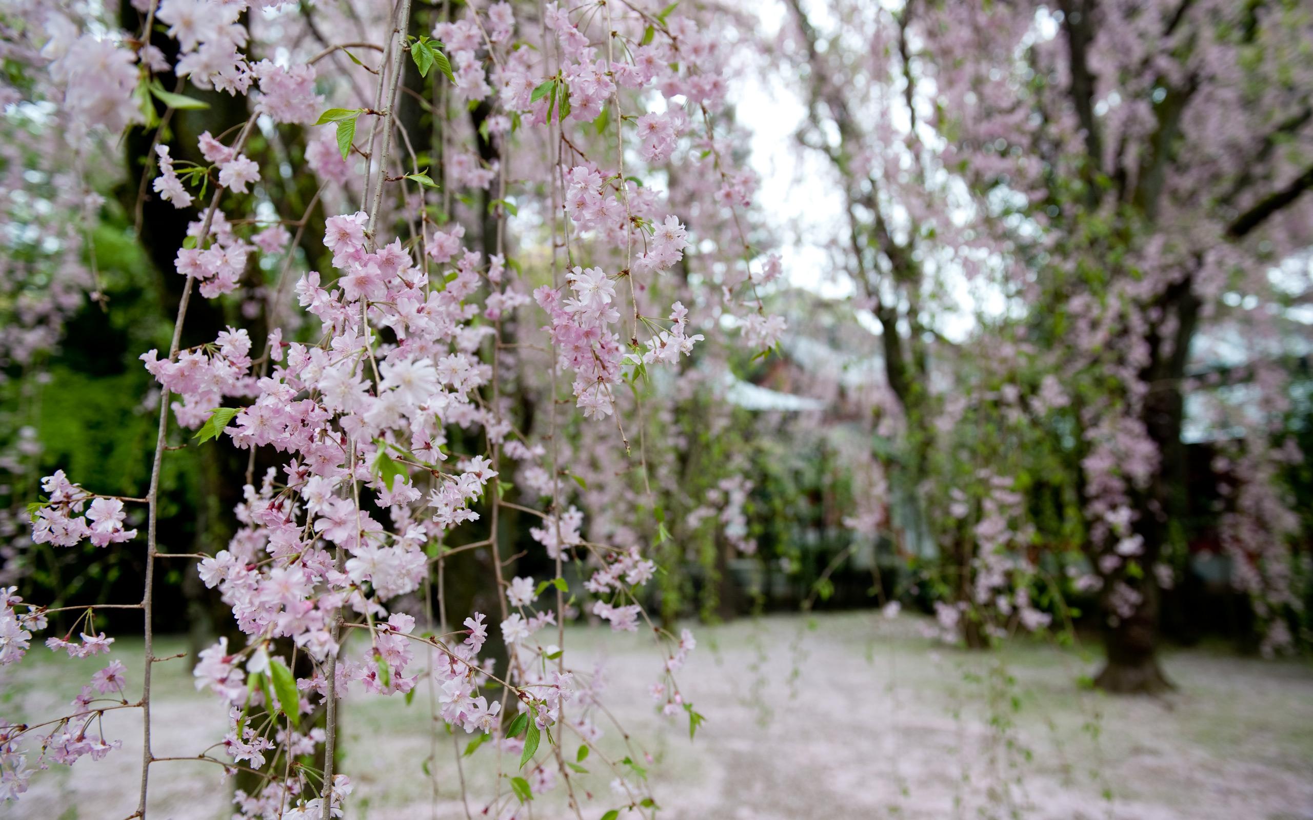 wallpaper cherry blossom japanese garden