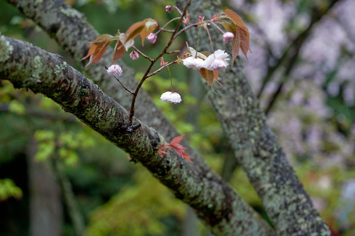 desktop background image of a few isolated pink puffy yaezakura cherry blossoms in the rain, at the Heian Shrine, Kyoto Japan -- Isolated Puffery -- Copyright 2009 Jeffrey Friedl, http://regex.info/blog/