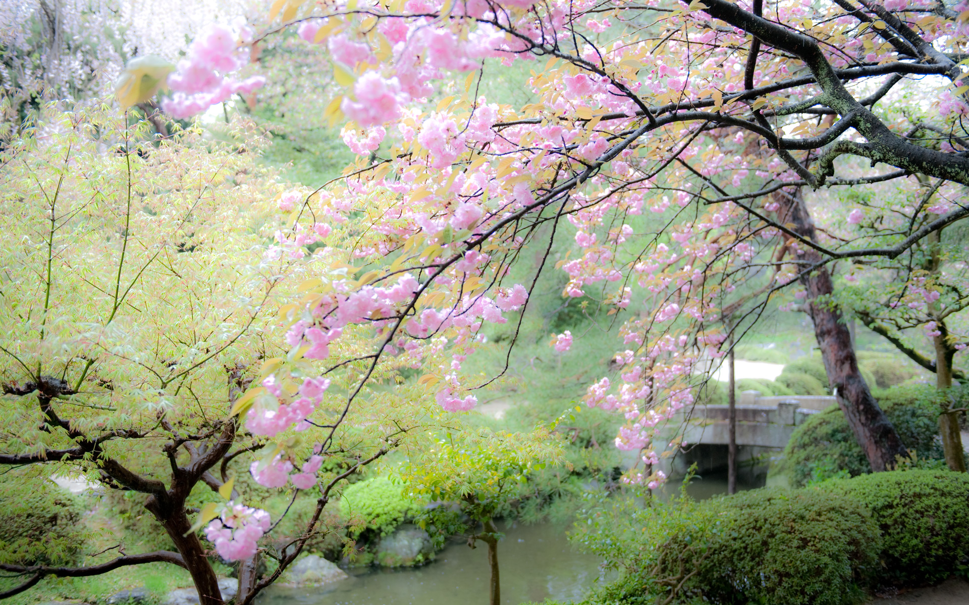 japanese garden cherry blossom bridge