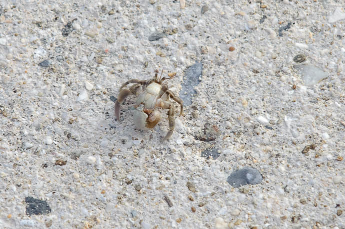 Very Tiny Crab -- Ishigaki, Okinawa, Japan -- Copyright 2009 Jeffrey Friedl, http://regex.info/blog/