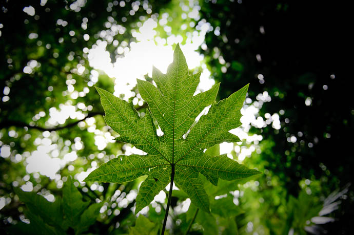Big Leaf but I don't really know how big, 'cause I forgot to include something for comparison -- Ishigaki, Okinawa, Japan -- Copyright 2009 Jeffrey Friedl, http://regex.info/blog/