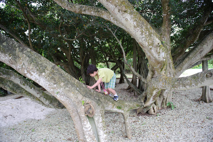 Big Lizard, Strange Tree -- Ishigaki, Okinawa, Japan -- Copyright 2009 Jeffrey Friedl, http://regex.info/blog/
