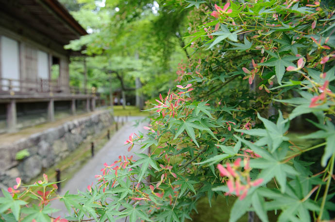 "desktop background image of green mapel leaves, red seed ""wings"", and a temple building, at the Sanzen-in temple in the Ohara mountain suburb of Kyoto, Japan -- Helicopters -- Sanzen-in Temple -- Copyright 2009 Jeffrey Friedl, http://regex.info/blog/"