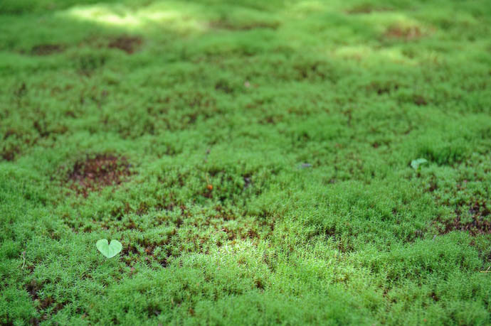 desktop background image of a single heart-shaped leave juts above a bed of moss, at the Sanzen-in Temple in the Ohara mountain suburb of Kyoto, Japan -- I Love Moss -- Sanzen-in Temple -- Copyright 2009 Jeffrey Friedl, http://regex.info/blog/