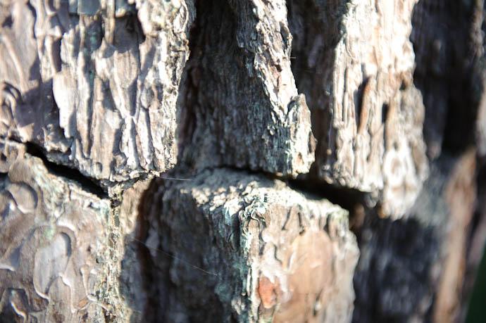 Thick Bark very thick bark -- Kyoto, Japan -- Copyright 2009 Jeffrey Friedl, http://regex.info/blog/