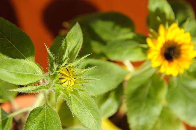 Anthony's Littler Sunflower -- Kyoto, Japan -- Copyright 2009 Jeffrey Friedl, http://regex.info/blog/