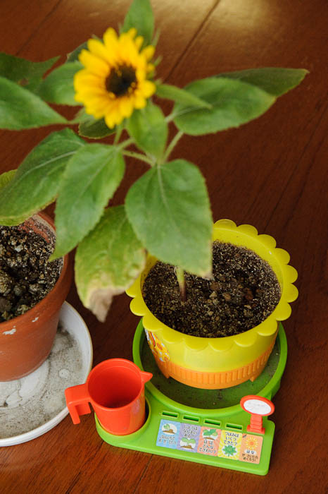 Sunflower Growing Station -- Kyoto, Japan -- Copyright 2009 Jeffrey Friedl, http://regex.info/blog/
