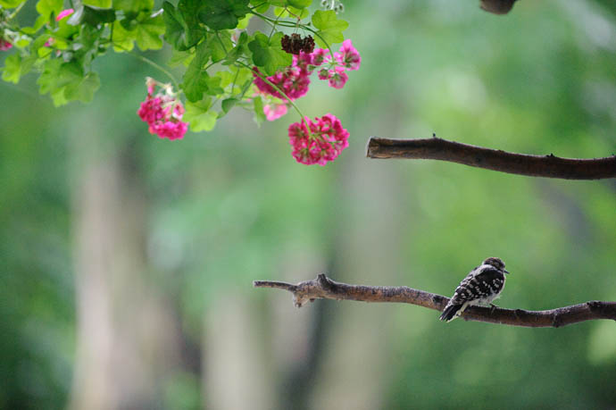 Young Downy Woodpecker -- Rootstown, Ohio, USA -- Copyright 2009 Jeffrey Friedl, http://regex.info/blog/