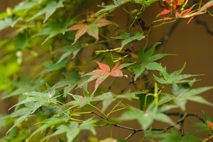 Just a Touch of Color ( some leaves are red all year... I don't think these have recently turned ) -- Renge-ji Temple -- Kyoto, Japan -- Copyright 2009 Jeffrey Friedl, http://regex.info/blog/
