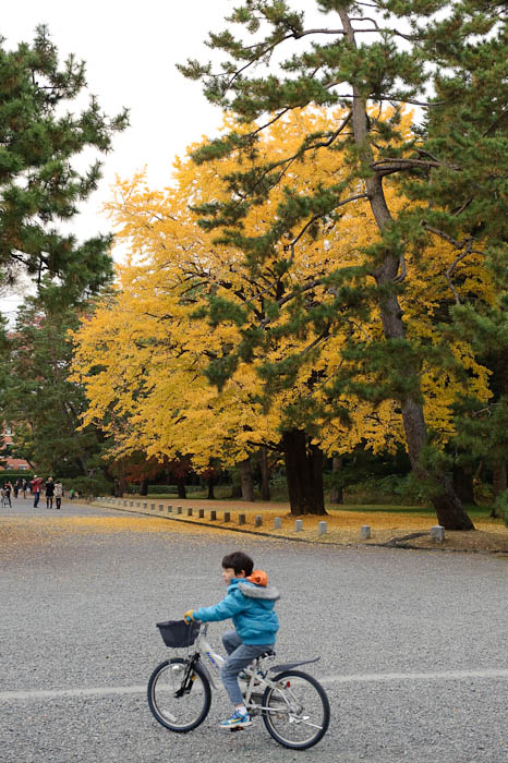 Glowing the large yellow ginkgo positively glowed in the gloomy overcast -- Kyoto Gosho, the grounds of the old imperial palace. -- Kyoto, Japan -- Copyright 2009 Jeffrey Friedl, http://regex.info/blog/
