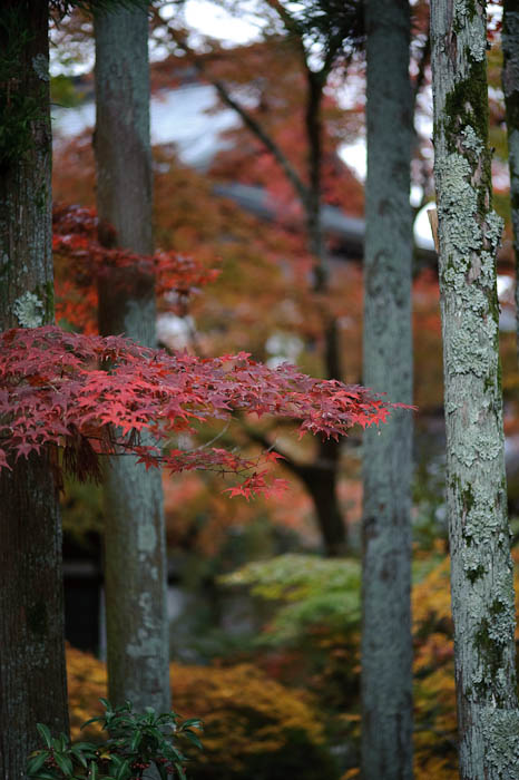 Grove -- Eikando Temple -- Kyoto, Japan -- Copyright 2009 Jeffrey Friedl, http://regex.info/blog/