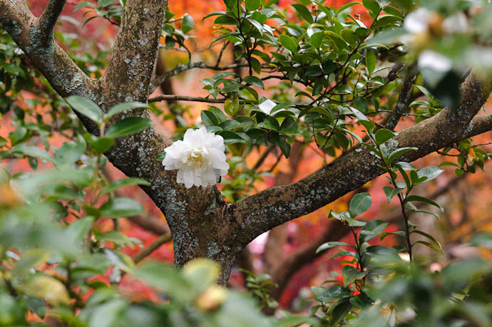 Autumnal Bloomer? -- Eikando Temple -- Kyoto, Japan -- Copyright 2009 Jeffrey Friedl, http://regex.info/blog/