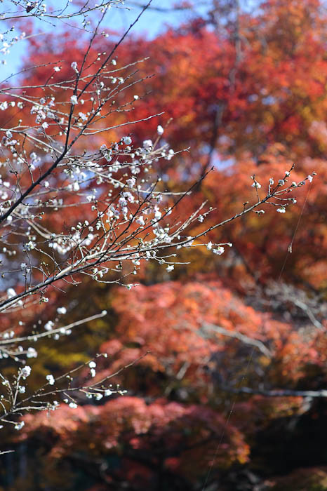 """October Cherry"" blooming in Kyoto, late November 2009 -- Himukai Shrine -- Kyoto, Japan -- Copyright 2009 Jeffrey Friedl, http://regex.info/blog/"