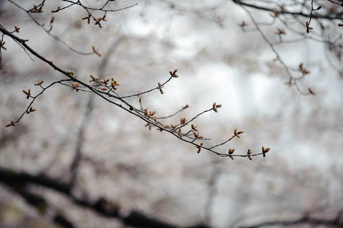 Blooming Backdrop Behind Budding Branch -- Kyoto, Japan -- Copyright 2010 Jeffrey Friedl, http://regex.info/blog/