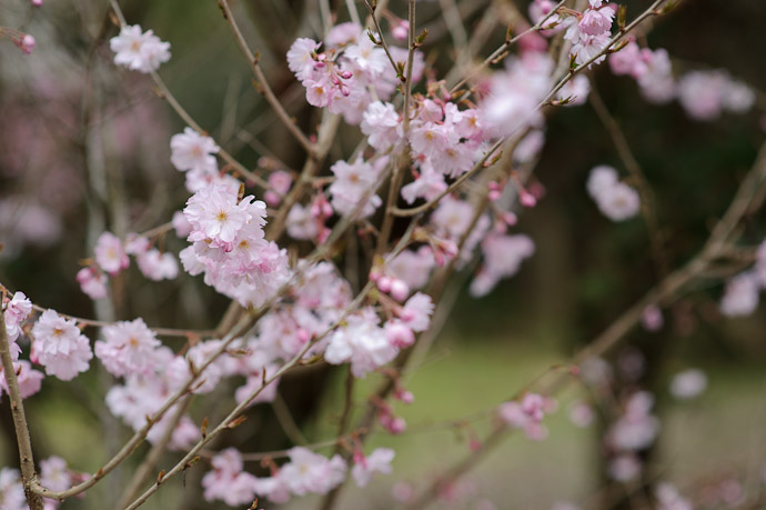 One of Many cherry-blossom varieties -- Sunainosato -- Otsu, Shiga, Japan -- Copyright 2010 Jeffrey Friedl, http://regex.info/blog/