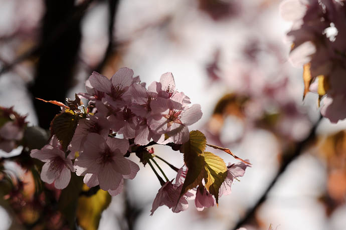 Backlit Blossoms -- Kyoto, Japan -- Copyright 2010 Jeffrey Friedl, http://regex.info/blog/