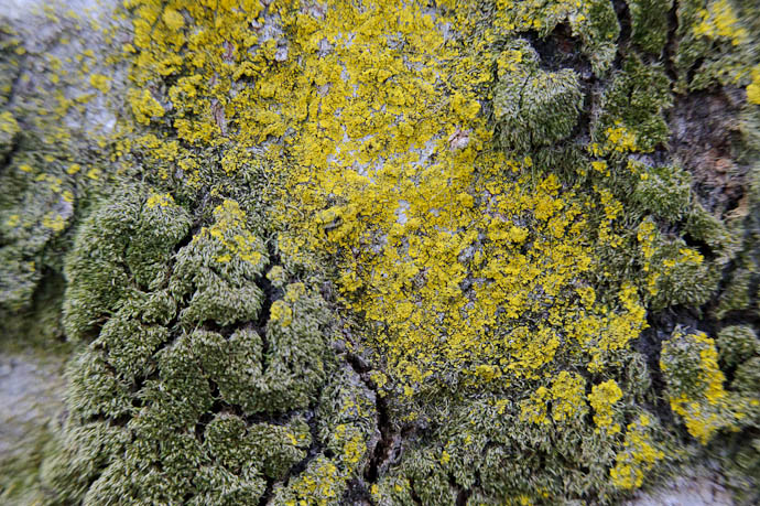 Moss and Lichen pseudo-Macro on some very bumpy bark -- Kyoto, Japan -- Copyright 2010 Jeffrey Friedl, http://regex.info/blog/