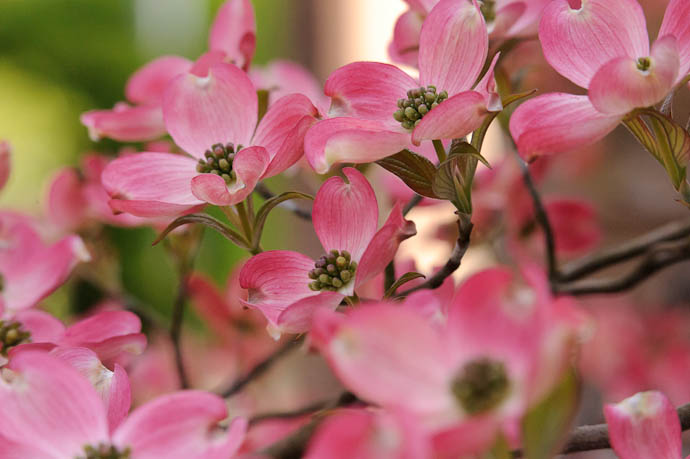 I Was Told What These Were Called but I forgot ( update: flowering dogwood — hanamizuki ) -- Kyoto, Japan -- Copyright 2010 Jeffrey Friedl, http://regex.info/blog/