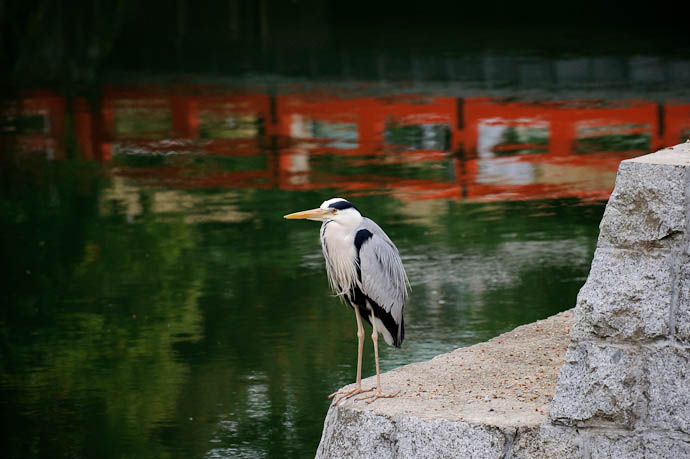Heron at the Biwako Canal, Kyoto Japan -- Copyright 2010 Jeffrey Friedl, http://regex.info/blog/