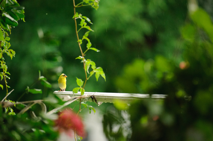 Wet Goldfinch -- Rootstown, OH, USA -- Copyright 2010 Jeffrey Friedl, http://regex.info/blog/